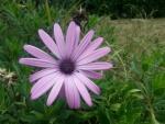 Gran margarita de color lila