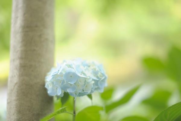 Bella hortensia junto a un árbol