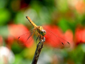 Una libélula amarilla agarrada a un palo