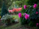 Rosal con preciosas rosas color fucsia