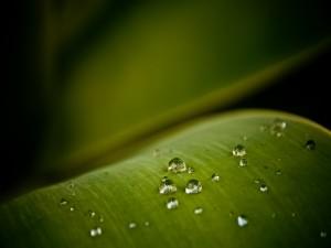 Gran hoja verde con pequeñas gotas de agua