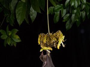 Murciélago bebiendo néctar de una flor
