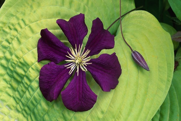 Flor púrpura sobre una gran hoja verde