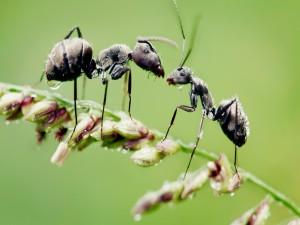 Dos hormigas mojadas sobre un tallo