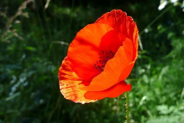 Amapola roja iluminada por el sol