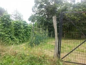 Postal: Tomateras detrás de la alambrada