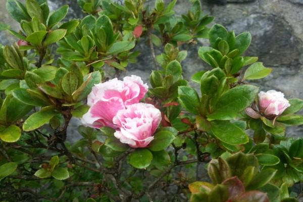 Flores rosas en una planta de hoja pequeña