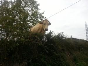 Una vaca tras la valla