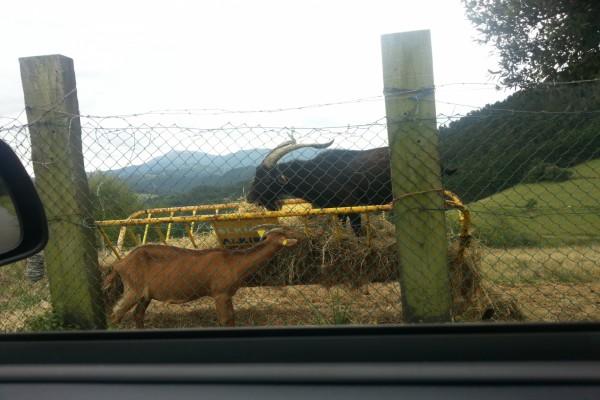 Cabra y macho cabrío comiendo paja