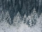 Árboles de varias especies cubiertos de nieve