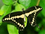 Mariposa negra posada en una hoja