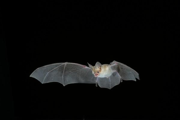 Murciélago en el aire enseñando los dientes