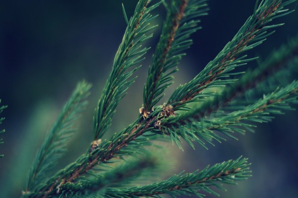 La rama de un pino