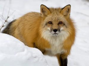 Postal: Un zorro sobre la nieve