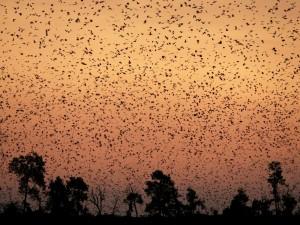 Murciélagos cubriendo el cielo al anochecer