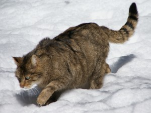 Gato montés europeo caminando en la nieve