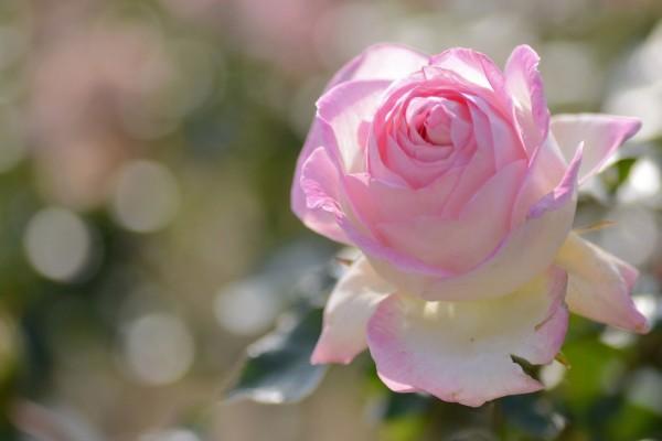Una rosa de color blanco y rosa