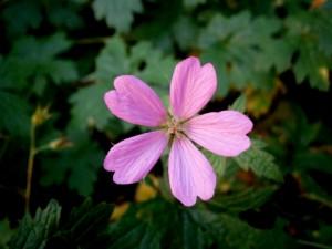 Una flor con pétalos de color rosa