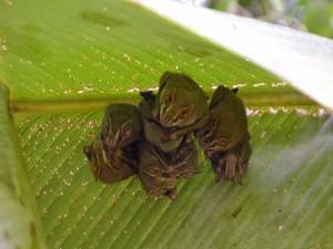 Grupo de murciélagos bajo una hoja
