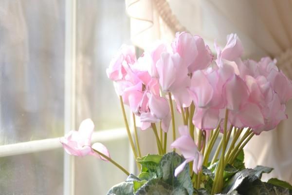 Una planta con flores rosas frente a la ventana