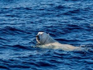 Oso polar nadando en las aguas azules del océano
