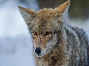 La cara de un coyote