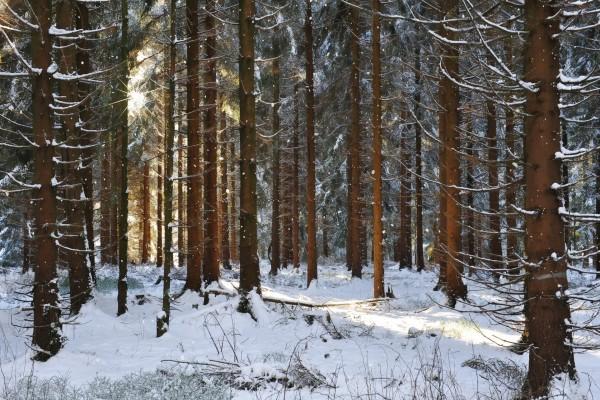 Los rayos de sol entre los pinos cubiertos de nieve