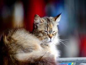 Postal: Un precioso gato dormitando
