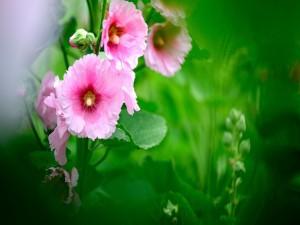 Hermosas flores rosas en la planta