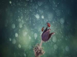 Dos mariquitas posadas en una flor peluda