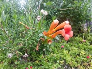 Trompetas de color naranja entre varias plantas