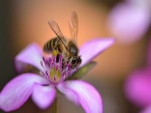 Postal: Una abeja sobre los pétalos rosas de una flor