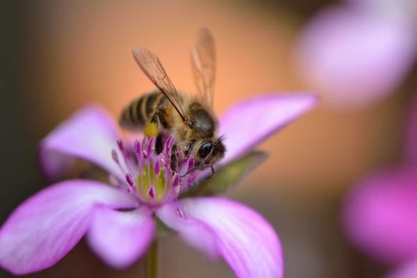 Una abeja sobre los pétalos rosas de una flor