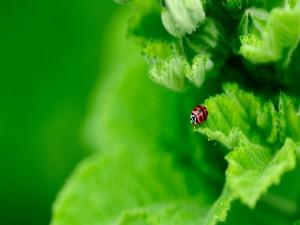 Mariquita sobre una hoja de color verde