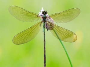 Postal: Una libélula posada en una flor