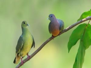 Dos palomas de distinto color sobre una rama