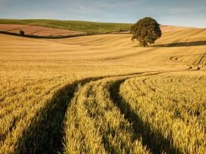 Postal: Campo sembrado con trigo