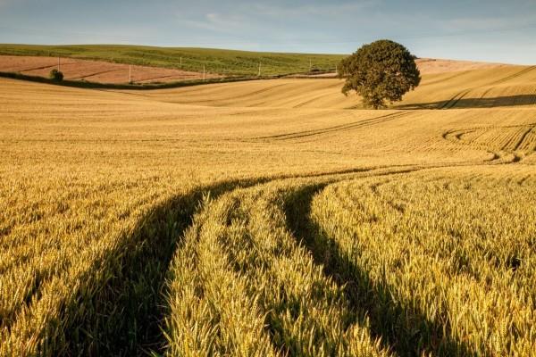 Campo sembrado con trigo