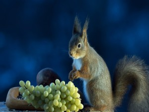 Postal: Ardilla comiendo uvas