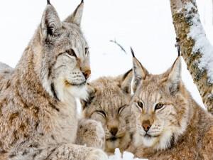Una familia de linces tumbados sobre la nieve