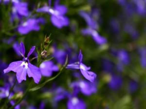 Postal: Flores púrpura en la planta