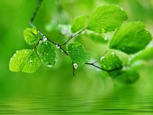 Hojas en una rama cerca del agua