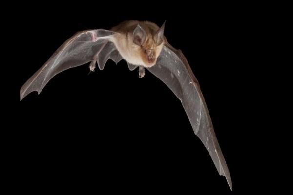 Murciélago volando en la oscuridad