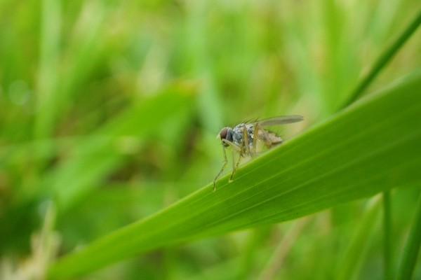 Una mosca peluda sobre una larga hoja