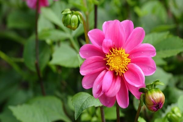 Dalia con un bonito color rosa
