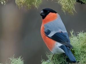 Postal: Un bonito pájaro naranja y negro