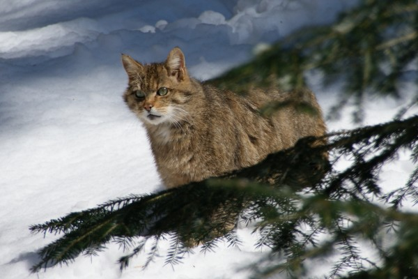 Un gato montés quieto sobre la nieve