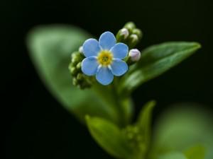 Una flor con seis pequeños pétalos azules