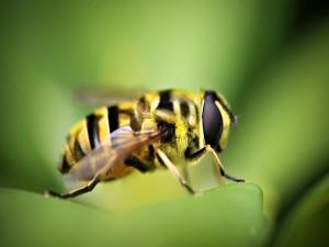 Una gran abeja sobre una hoja