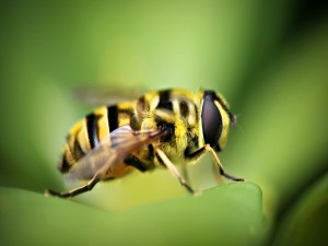 Postal: Una gran abeja sobre una hoja